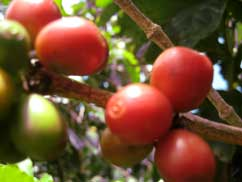 A branch holds several red coffee cherries