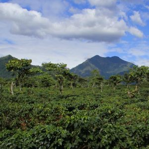 In the background, maintains against a blue sky filled with fluffy clouds; in the forground, a mountainside covered in coffee plants