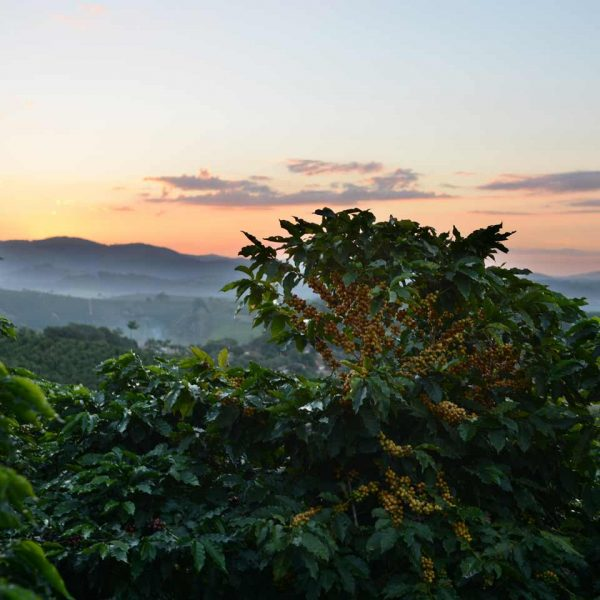 Coffe plants in the foreground; in the background, a mountain sunrise